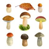 Mushrooms watercolor illustration royalty free stock images