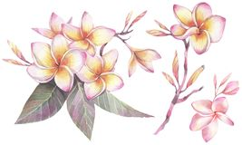 Hand painted watercolor illustration. Botanical set with flowers of plumeria. royalty free illustration