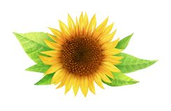 Watercolor illustration of sunflower with leaves isolated on white background with clipping path royalty free stock photo