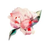 Hand Painted Watercolor Peonies. Watercolor Stock Photo