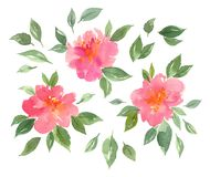 Watercolor blossom pink peonies flowers. Hand painted watercolor pink floral. peony blossom. flowers and leaves isolated elements Royalty Free Stock Photos