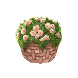 Hand painted watercolor roses in the basket isolated Royalty Free Stock Photos