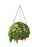 Hand painted watercolor roses in the hanging pot isolated Stock Image