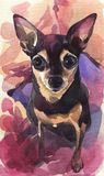 Hand painted watercolor. Russian toy terrier on a pink abstract background. royalty free illustration