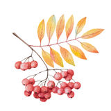 Hand painted watercolor twig rowan branch Royalty Free Stock Image