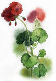 Hand Painted Wild Geranium Royalty Free Stock Photos
