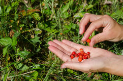 Hand palm gather pick wild strawberry in meadow. Closeup of woman girl hands gather pick wild strawberry to palm in forest meadow royalty free stock image