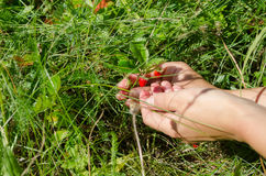 Hand palm gather pick wild strawberry in meadow. Woman girl hands gather pick wild strawberry to palm in forest meadow stock image