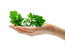 Hand with parsley Royalty Free Stock Photo