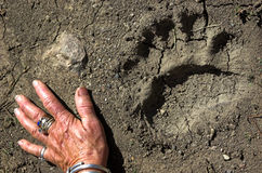 Hand and paw. Womans left hand next to left rear black bear paw print in mud Stock Photo