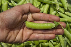 Hand with pea pod Royalty Free Stock Image