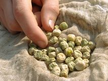 Hand with peas seeds Royalty Free Stock Image