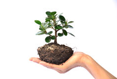 Hand of person holding tree on white background isolate Stock Image