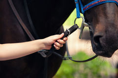 Hand of the person holds a horse for bridles Stock Photos