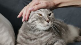 Hand of person stroking cat. Female owner caressing of cute scottish fold cat at home stock footage