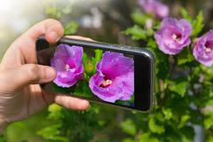 The hand of the person taking the picture of flowers on the smartphone stock photos