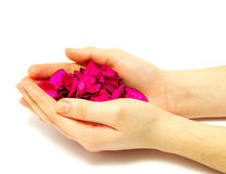 Hand and petals Royalty Free Stock Photography