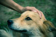 A hand is petting dog had,vintage filtered. Royalty Free Stock Photo