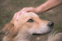 A hand is petting dog had,vintage filtered. Royalty Free Stock Photos