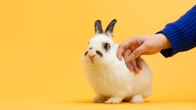 Hand petting white bunny on yellow background stock photo
