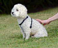 Hand Petting White Poodle royalty free stock photos
