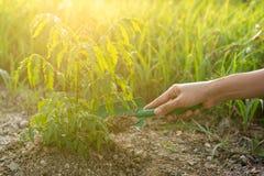 Hand pflanzt Baum Schaufelgrabungsboden für wachsenden Baum stockfoto