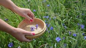 Hand pick cornflower herb Stock Photography
