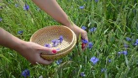 Hand pick cornflower herb Royalty Free Stock Photography