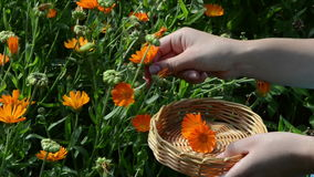 Hand pick marigold calendula herb bloom wooden wicker stock video