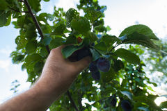 A hand pick plums from the tree Stock Photography
