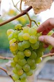 Hand pick up grapes from bunch, sort of Chardonnay. White sort wine, autumn harvest. Photo with selective soft focus stock images