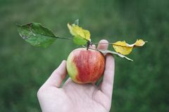 Freshly picked apple in hand stock photography
