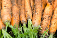 Hand picked bunch of fresh dirt orange carrots backgrounds Royalty Free Stock Image