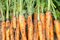 Hand picked bunch of fresh dirt orange carrots backgrounds Stock Photography