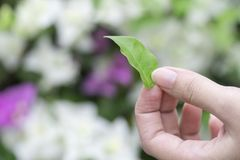 Hand picked green leaves in the park. stock photography