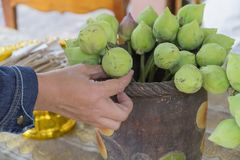 Hand picked green lotus in the vase for worship in Budfhism. royalty free stock image