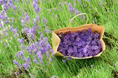 Hand picked lavender in bag Stock Photo