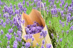 Hand picked Lavender in paper bag Stock Image