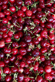 Hand picked organic cherries Stock Photo