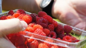 Hand-Picked Raspberry. Ripe raspberries in a plastic container held in man's hands Stock Photos