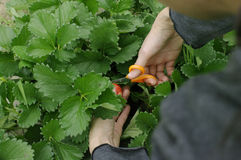 Hand picked with scissor strawberries fresh from farm Royalty Free Stock Photography