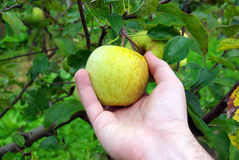 Hand picking apple. Hand picking a yellow apple in a tree Royalty Free Stock Images