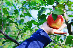 Hand picking an apple Royalty Free Stock Photography