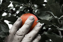 Hand picking an apple. Hand picking a colorful apple Stock Images