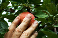 Hand picking an apple. Hand picking a ripe apple from the tree Royalty Free Stock Images