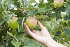 Hand picking an apple, apple tree Stock Photography