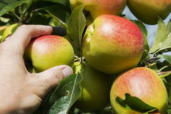 Hand picking an apple in August. Royalty Free Stock Photos