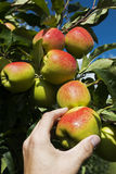 Hand picking an apple in August. Royalty Free Stock Photo