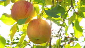 Hand picking an apple from a tree. Apple trees with red apples. The sun shines through the apple tree stock footage