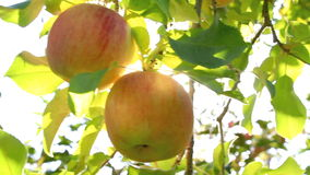 Hand picking an apple from a tree. Apple trees with red apples. The sun shines through the apple tree stock video footage